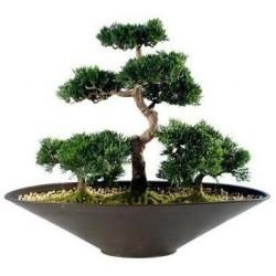Фън Шуй Бонсай - Зелен кедър